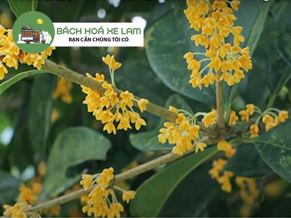 Quế hoa và cây đàn hương quế