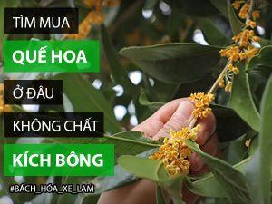 Quế hoa mua ở đâu TPHCM không dùng Chất Kích Bông có hại?
